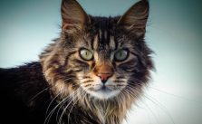 How to Discipline a Maine Coon Cat