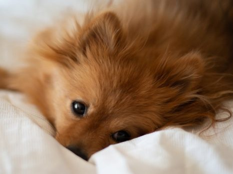can Pomeranian handle cold weather