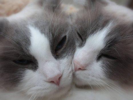 ragdoll cat types