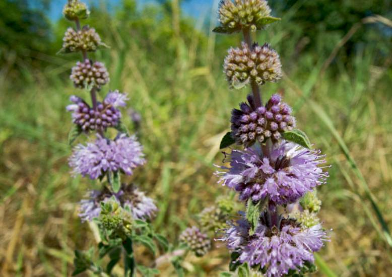 Pudding Grass (Pennyroyal) - Mentha pulegium