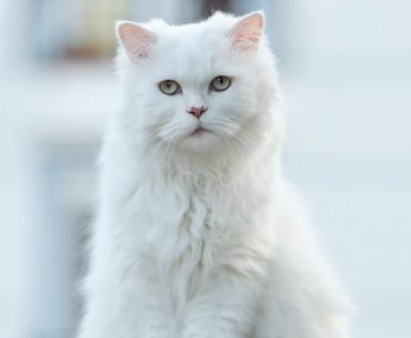 beautiful persian cat by americancat.net