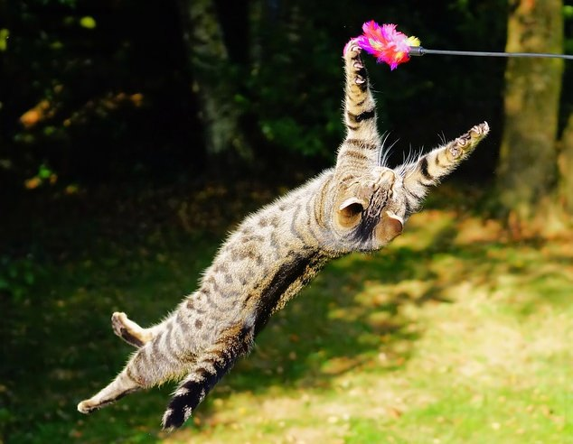 cat playing with toy as prey
