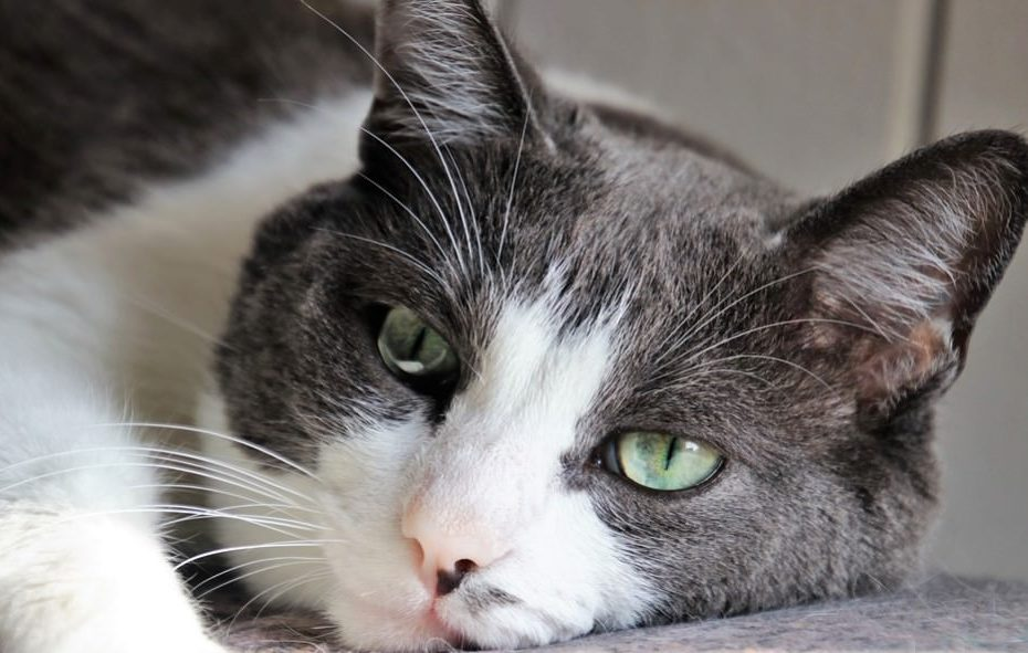 cat suffering with thyroid issue and laying sad