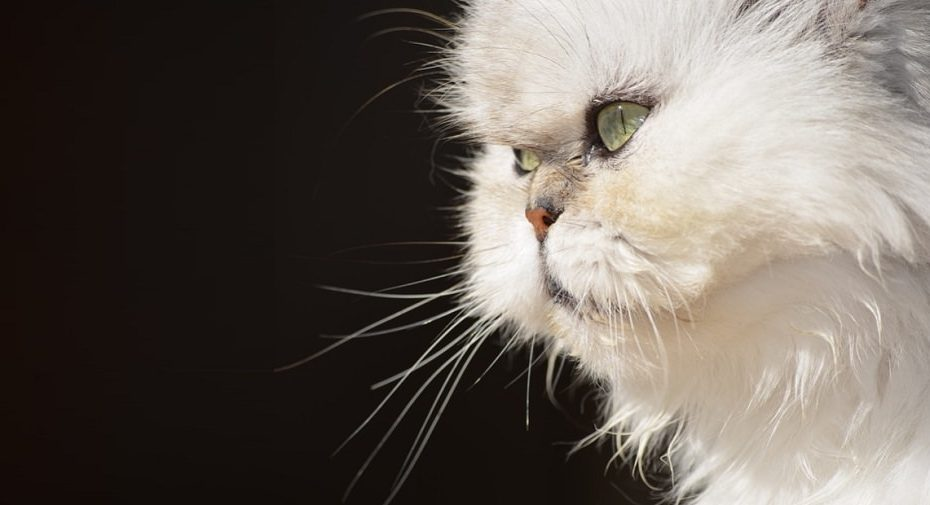 Best Shampoo For Persian cats