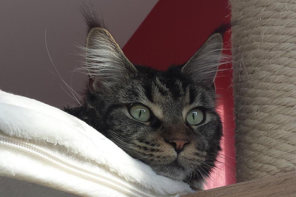 Mainecoon cat