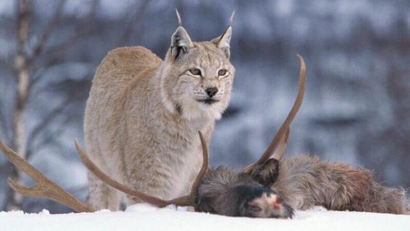 Lynx Habit
