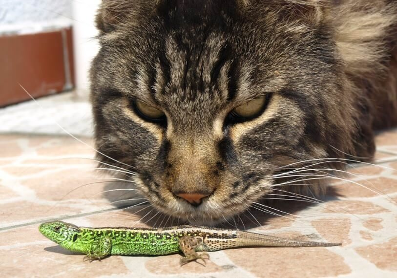 cat looking at lizard for eating