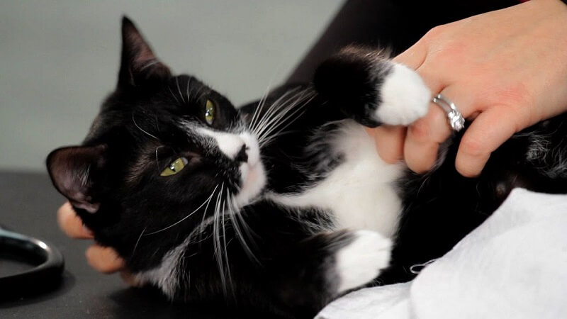 touching cat belly