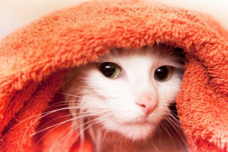 Cat in towel